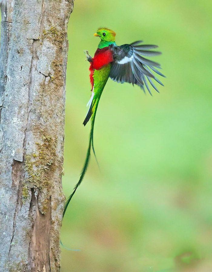 عکاسی حیات وحش-حیات وحش کاستاریکا-درازدامن براق
