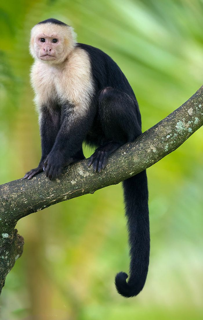 عکاسی حیات وحش-حیات وحش کاستاریکا-میمون کاپوچین