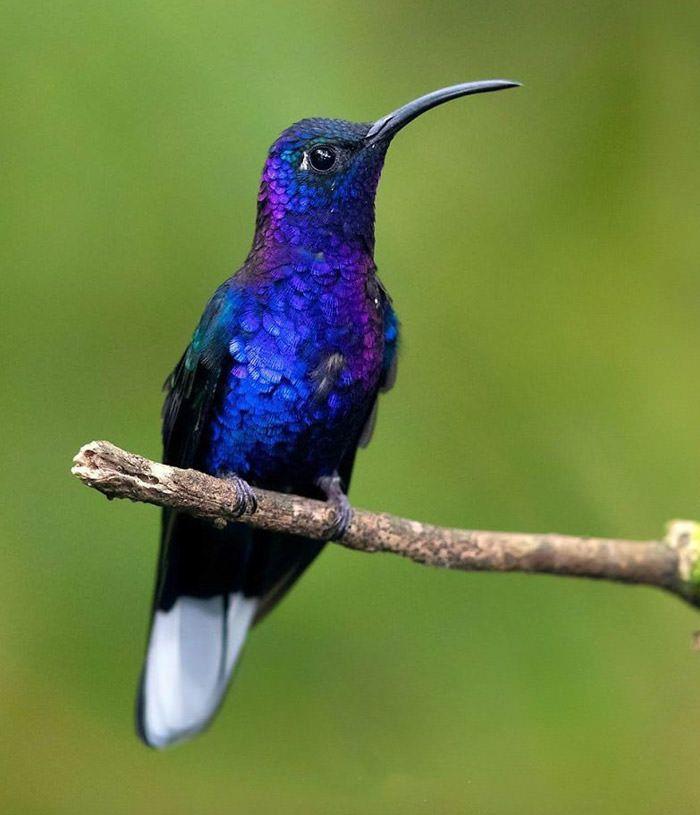 عکاسی حیات وحش-حیات وحش کاستاریکا-شمشیربال بنفش