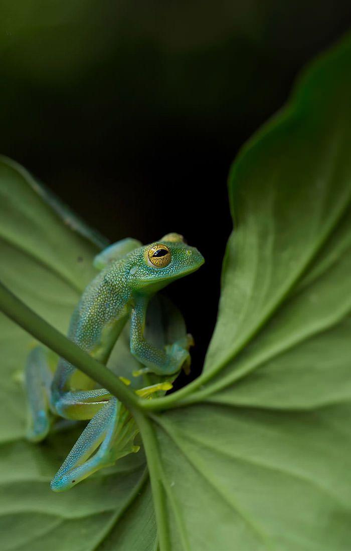 عکاسی حیات وحش-حیات وحش کاستاریکا-قورباغه شیشه ای