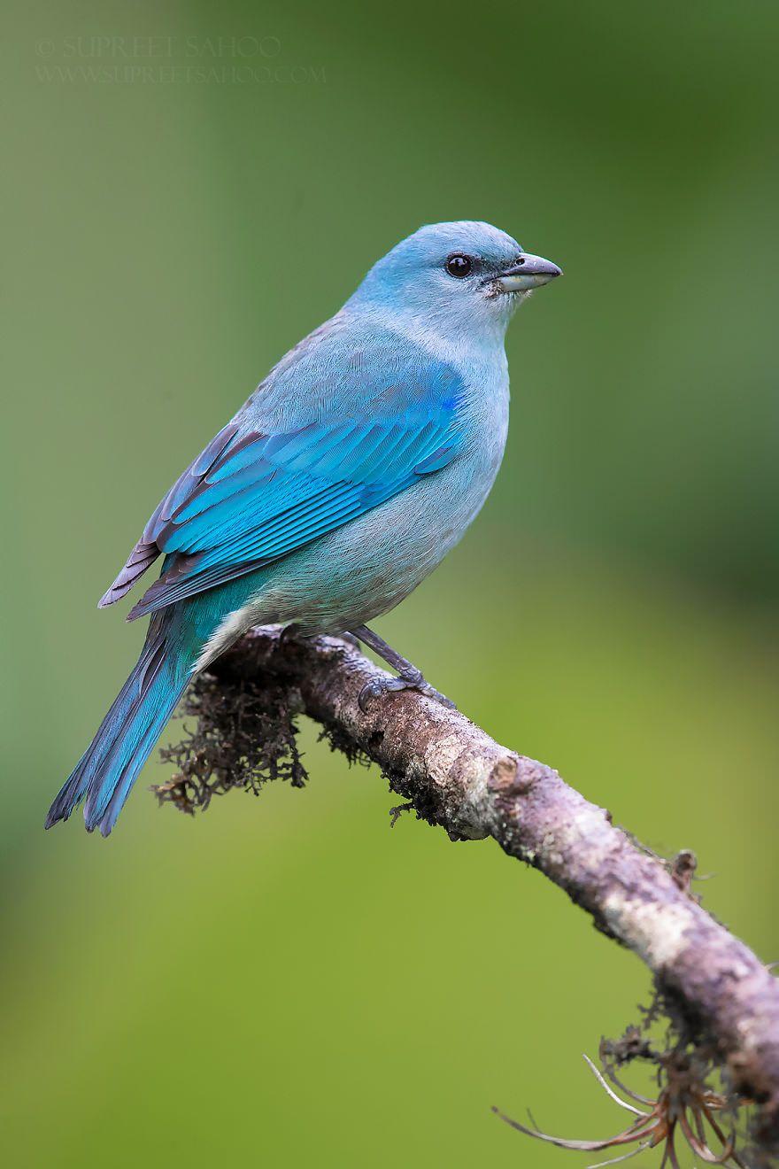 تصاویری از پرندگان زیبا در جنگل اطلس برزیل