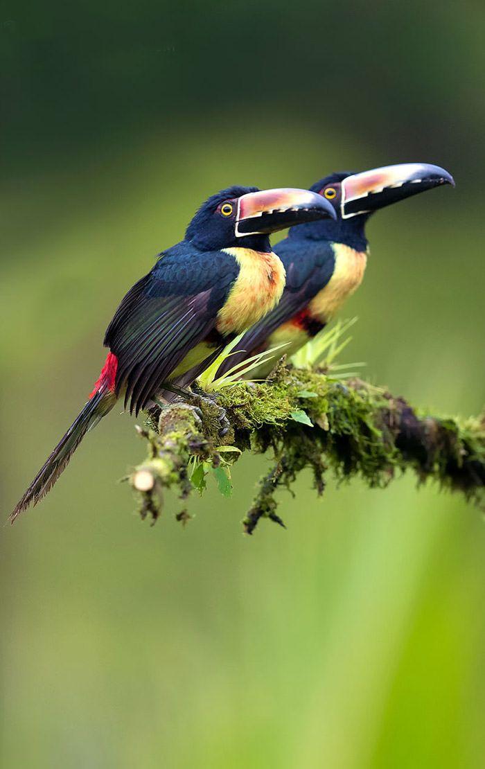 عکاسی حیات وحش-حیات وحش کاستاریکا-پرزبان یقه دار