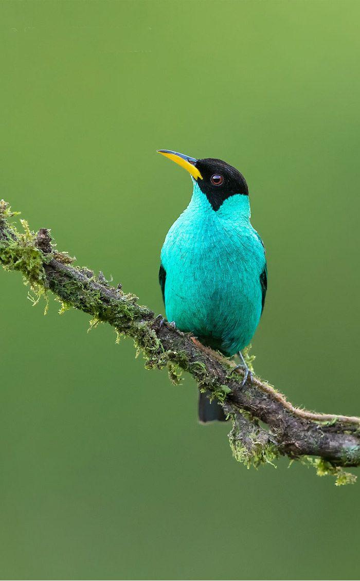 عکاسی حیات وحش-حیات وحش کاستاریکا-مرغ مگس سبز
