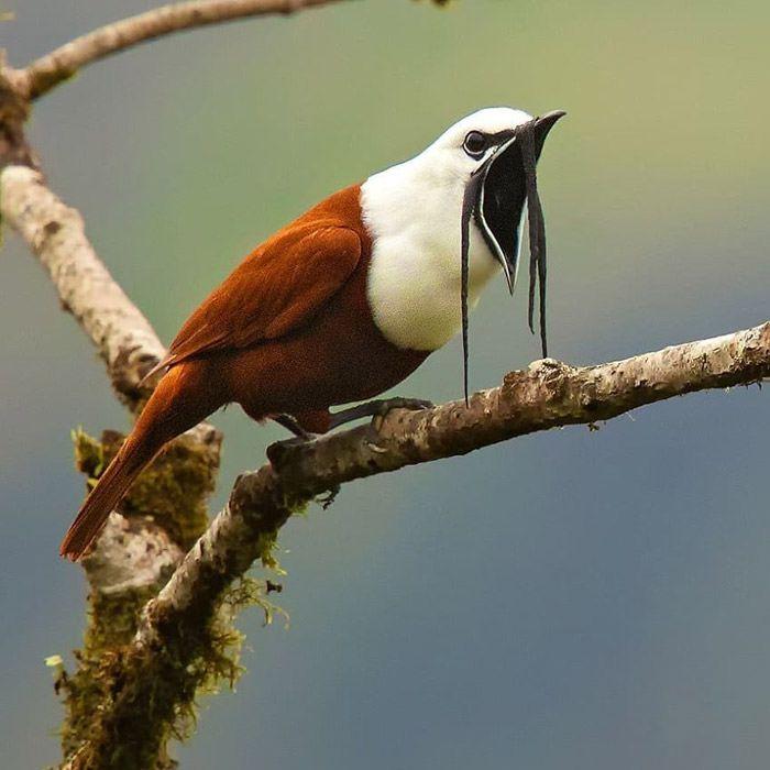 عکاسی حیات وحش-حیات وحش کاستاریکا-بلبرد سه غبظبکی