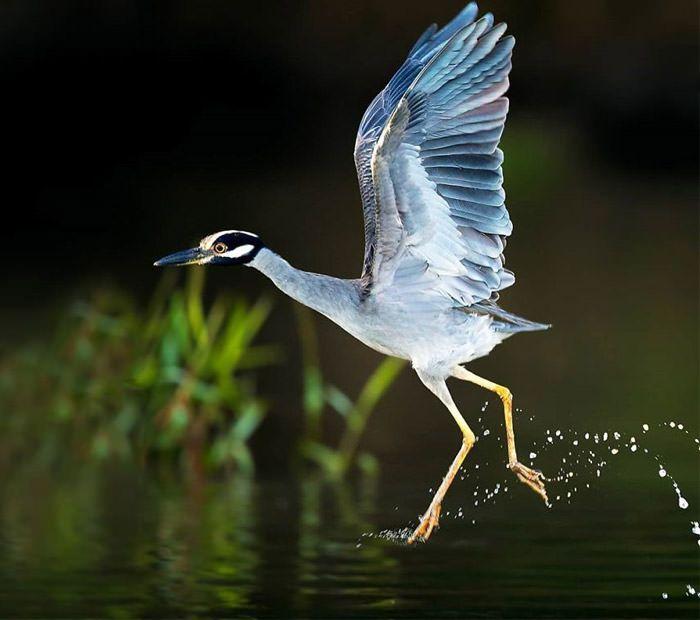 عکاسی حیات وحش-حیات وحش کاستاریکا-حواصیل شب پرواز کاکل زرد