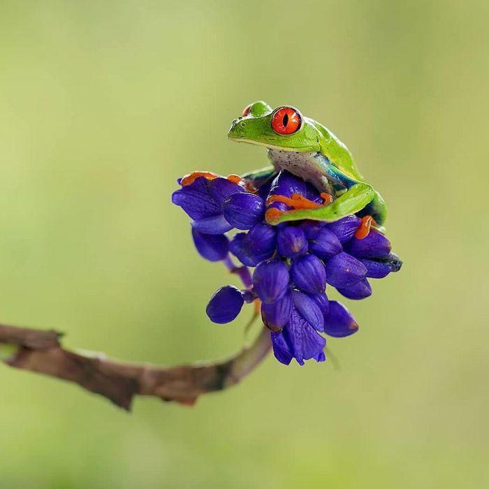 عکاسی حیات وحش-حیات وحش کاستاریکا-قورباغه درختی گلوقرمز
