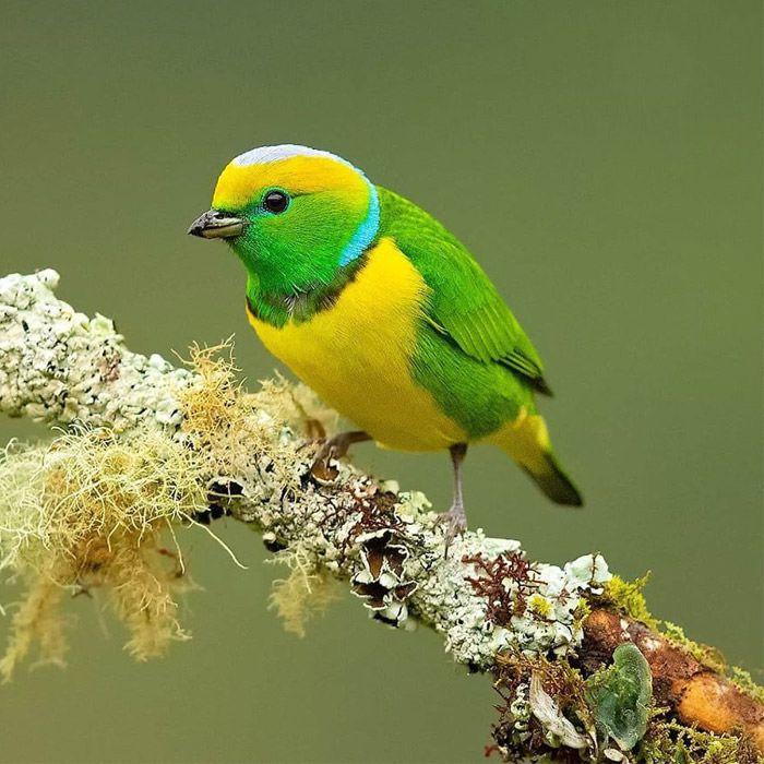 عکاسی حیات وحش-حیات وحش کاستاریکا-کلوروفونیای ابروطلایی