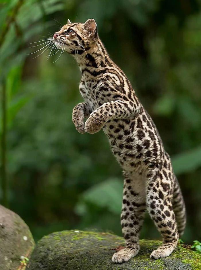 عکاسی حیات وحش-حیات وحش کاستاریکا-مارگای