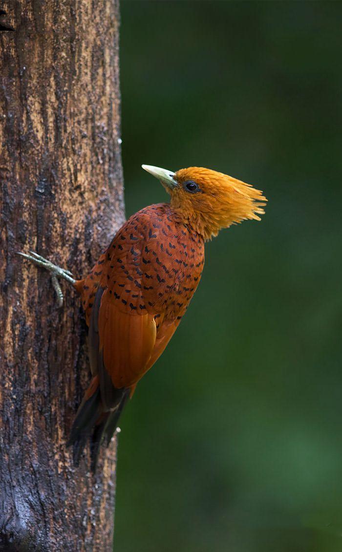 عکاسی حیات وحش-حیات وحش کاستاریکا-دارکوب فندقی