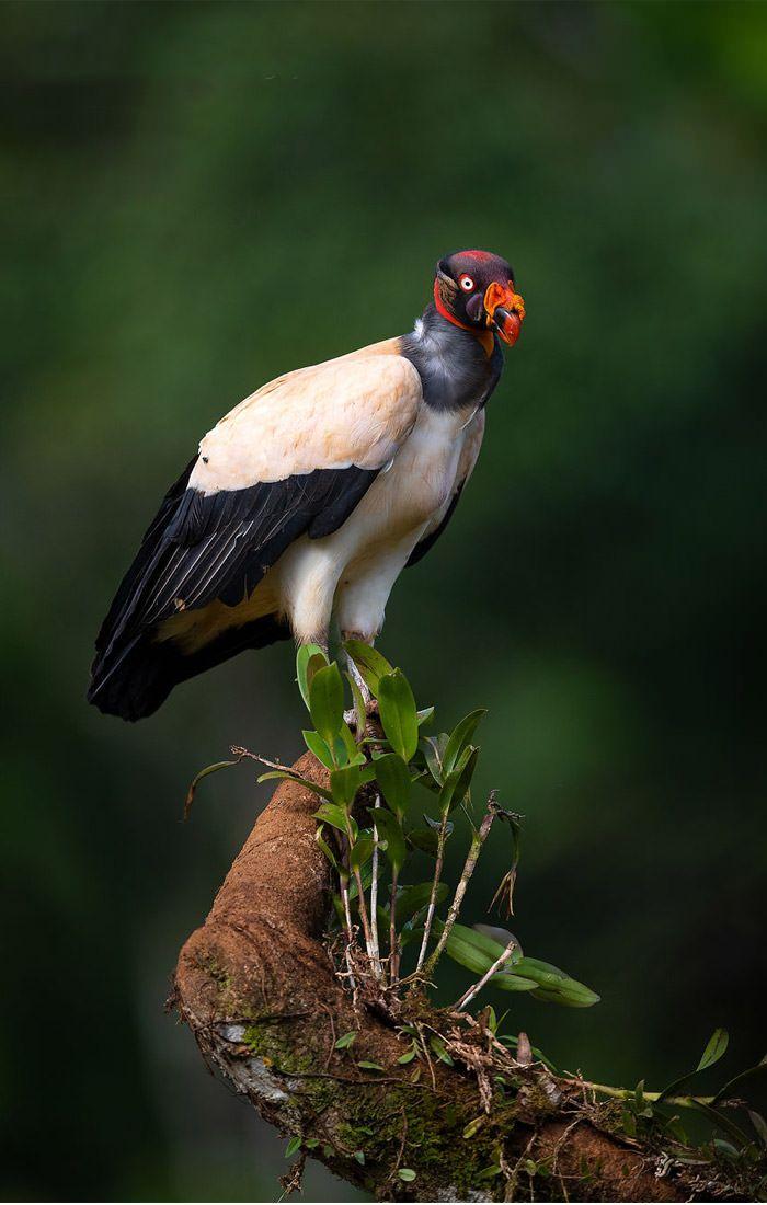 عکاسی حیات وحش-حیات وحش کاستاریکا-شاه کرکس