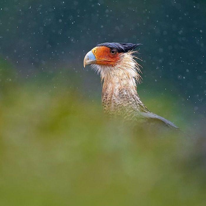 عکاسی حیات وحش-حیات وحش کاستاریکا-کاراکای کاکل دار