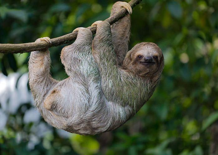 عکاسی حیات وحش-حیات وحش کاستاریکا-تنبل سه انگشتی