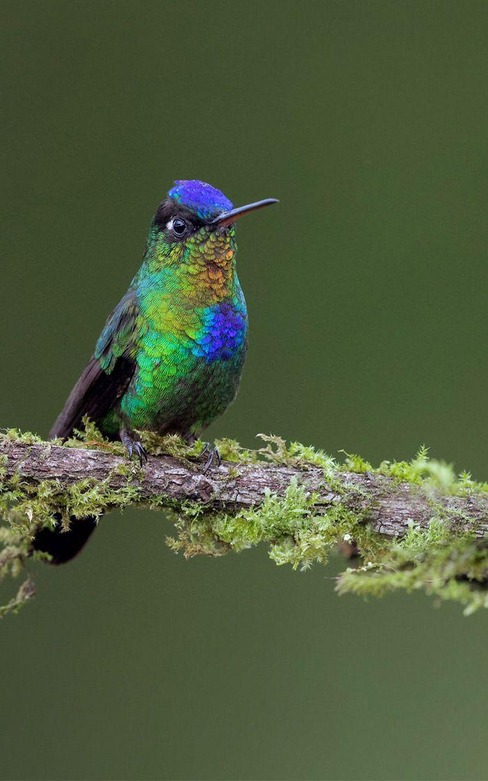 عکاسی حیات وحش-حیات وحش کاستاریکا-مرغ مگس زرین پر گلو آتشی