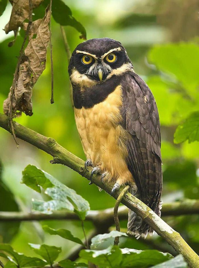 عکاسی حیات وحش-حیات وحش کاستاریکا-جغد عینکی